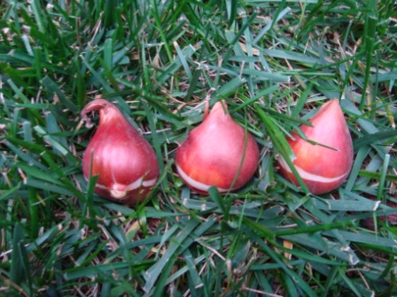 tulip-bulbs-tips-up