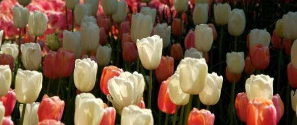 tulips-are-beautiful
