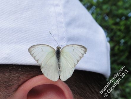 Butterflies-attracted-to-white-clothing