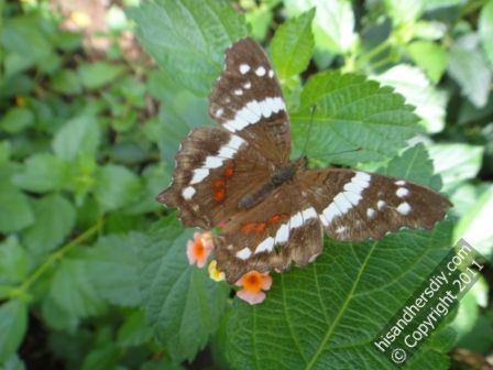 Painted-Lady-in-butterfly-house