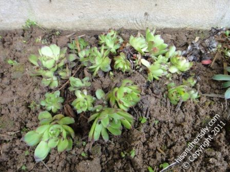 secure-rosettes-clump-with-soil