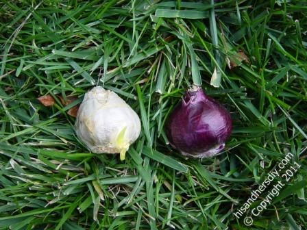 different-hyacinth-bulbs